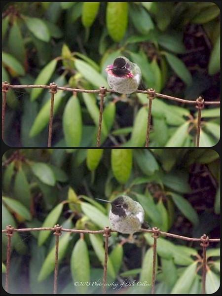 Anna's Hummingbird ~ Calypte anna
