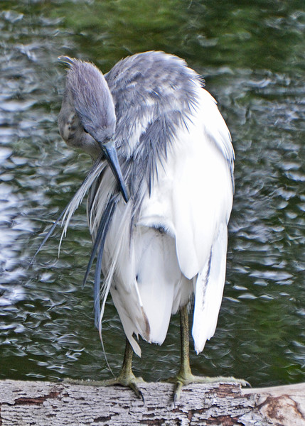 MOLTING BLUE HERON PREENING ITS FEATHERS