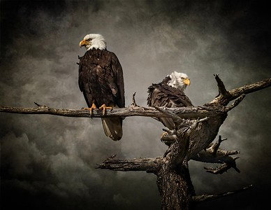 Eagles atop snag on a stormy day