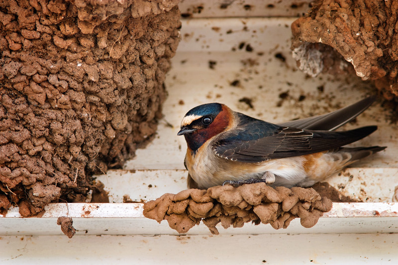 Nesting Cliff Swallow - Amherst Point, Nova Scotia
