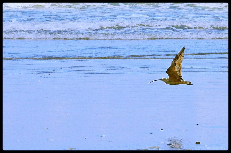 Long-billed Curlew ~ Numenius americanus