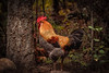 Rooster in the Woods