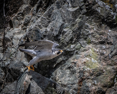 Peregrine Falcon wings half up
