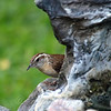Carolina Wren Playing Peek A Boo