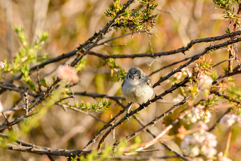 California Gnatcatcher fledgling.