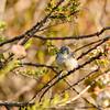 California Gnatcatcher fledgling.