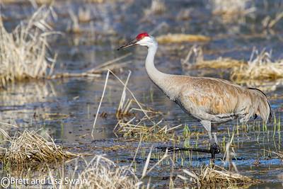 Sandhill Crane Hunting