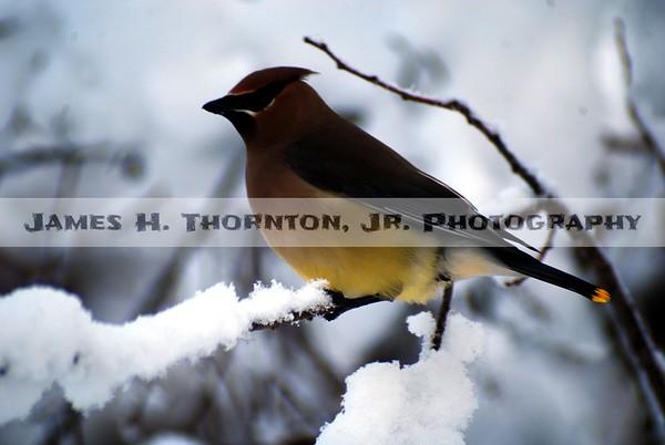 Cedar Waxwing in Snowstorm