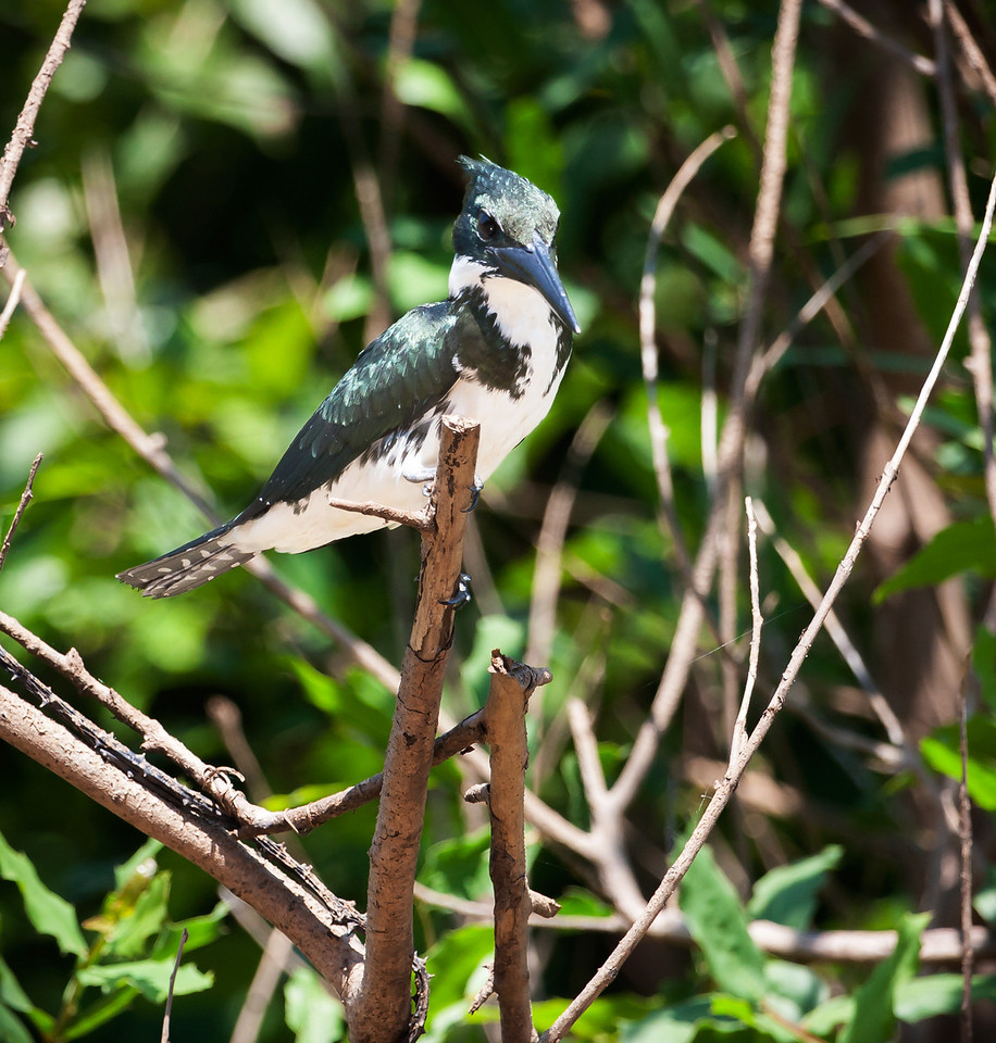 Amazon Kingfisher. A female one, I do believe.<br /> <br /> Location: Serere Nature Reserve, Bolivia<br /> <br /> Lens used: Canon 100-400mm f4.5-5.6 IS