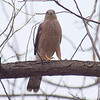 Papa Cooper's Hawk Breaking Off A Stick