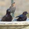 Blackbird, Cowbird, Starling