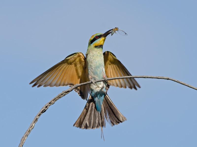 Rainbow Bee-eater, Federation Walk, Gold Coast, Queensland.