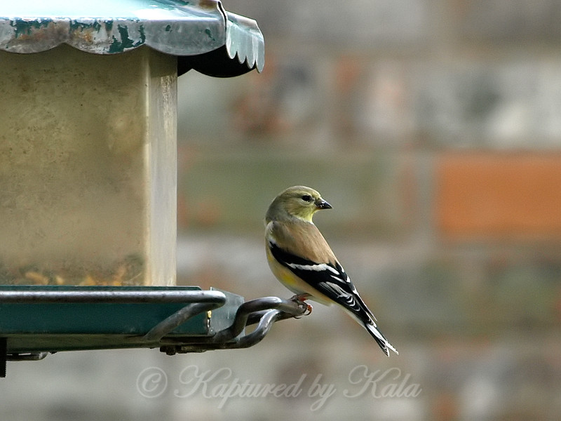 Goldfinch At My Pole Feeder View 2