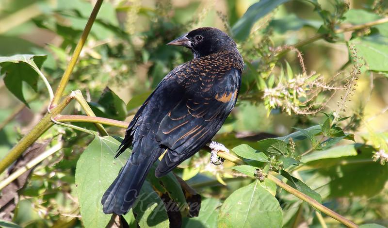Cooperative Juvenile Red-Winged Blackbird