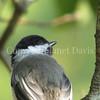 Poecile atricapillus – Black capped chickadee juvenile 2