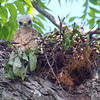 Baby Red-shouldered Hawk Looking At Me