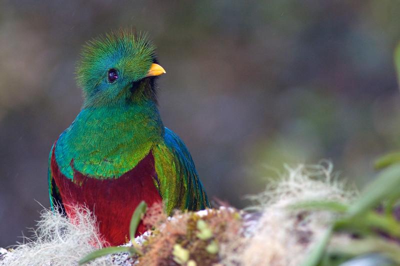 Resplendent Quetzal (male) #2