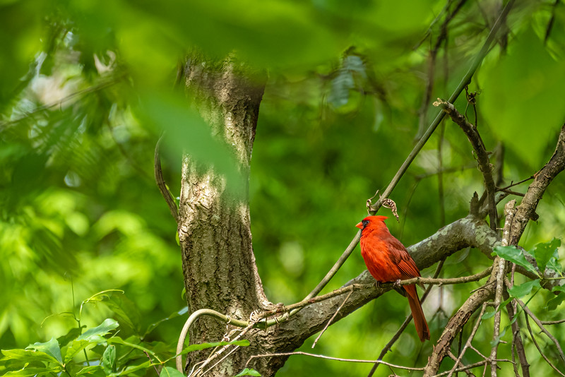 Red on Green / Male Cardinal.