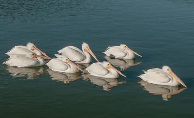 White Pelicans, Rockport Beach, Texas.