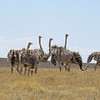 Struthio camelis-Ostriches 2