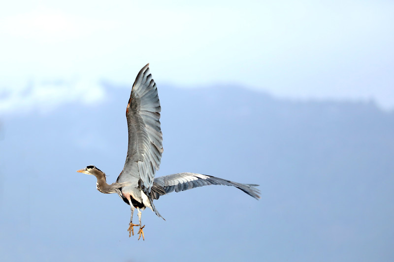 Great Blue Heron, Skagit Valley, Washington