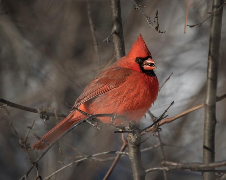 Northern Cardinal eating a berry.