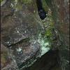 Pigeon Guillemot ~ Cepphus columba