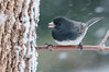 Dark-eyed Junco, Junco hyemalis