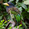 Great Barbet,Hong Kong Bird Park.Hong Kong.
