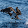 Brown booby taking off