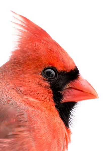 Cardinal portrait