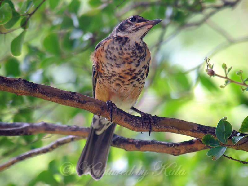 Juvenile Robin Checking For Hawks