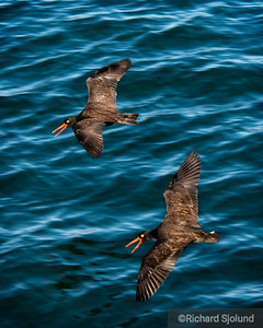 Black Oystercatchers Santa Barbara, California