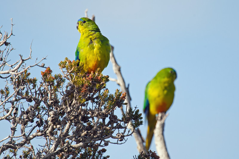 Orange-bellied Parrots