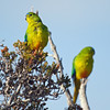 Orange-bellied Parrots