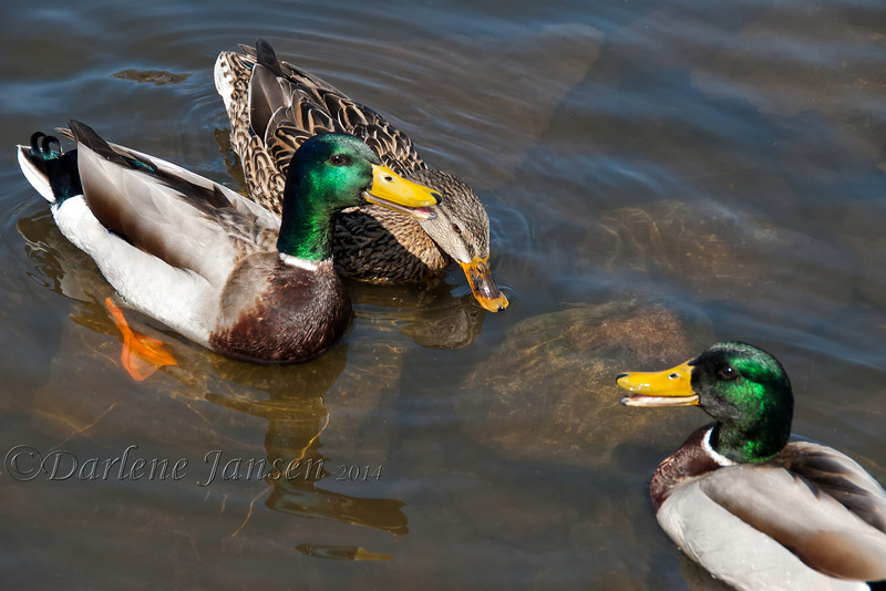 Mallards, talking things over :)