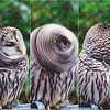 Barred Owl Headspin