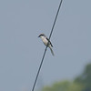 Shrike On A Wire