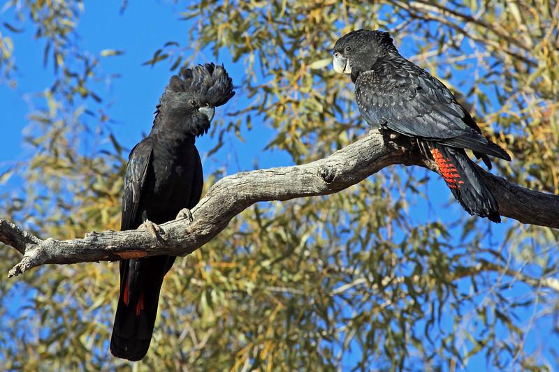 Red-tailed Black Cockatoo pair (Calyptorhynchus banksii)