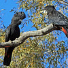 Red-tailed Black Cockatoo pair (Calyptorhynchus banksii)