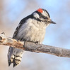 Downy Woodpecker on a cold day in Minnesota