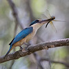 Sacred Kingfisher wirh prey_0411