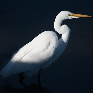 Snowy Egret of South Carolina
