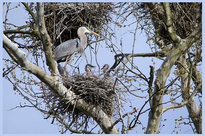 Great Blue Heron and the Family