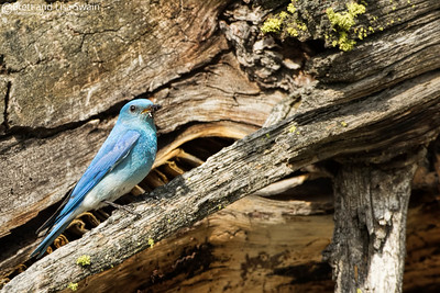 Male Mountain Bluebird-with food for babies