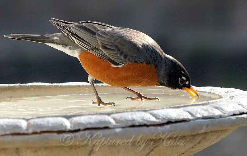 Pecking Thru the Ice to Get a Drink