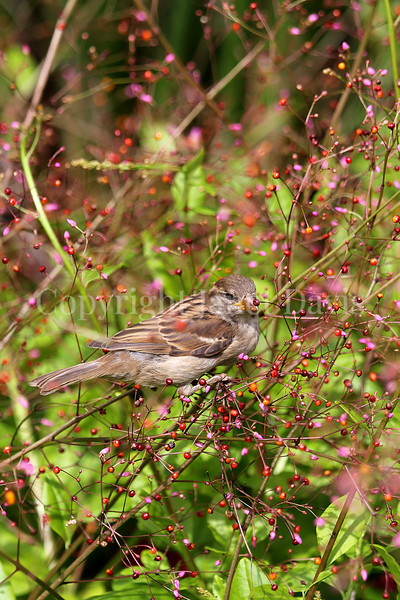 Passer domesticus – House sparrow 10