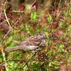Passer domesticus – House sparrow 10
