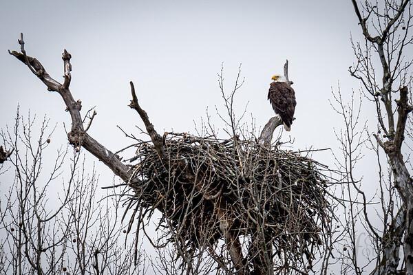 Bald Eagle at Riverbend Park