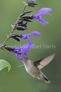 Archilochus colubris – Ruby throated hummingbird on 'Black and Blue' Hummingbird Sage 3